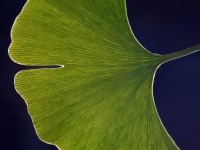 copy-of-ginkgo_leaf_full